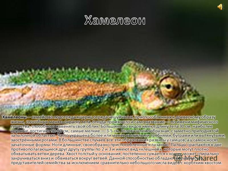 Василиск обитает в тропических лесах Центральной Америки. Эта ящерица вырастает в длину до метра (чаще всего 80 см), а весит чуть больше 200 г. У василиска длинные задние ноги и хвост (50 – 60 см). На ногах длинные пальцы с коготками, а между ними ск