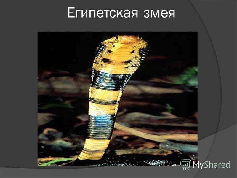 Египетская змея