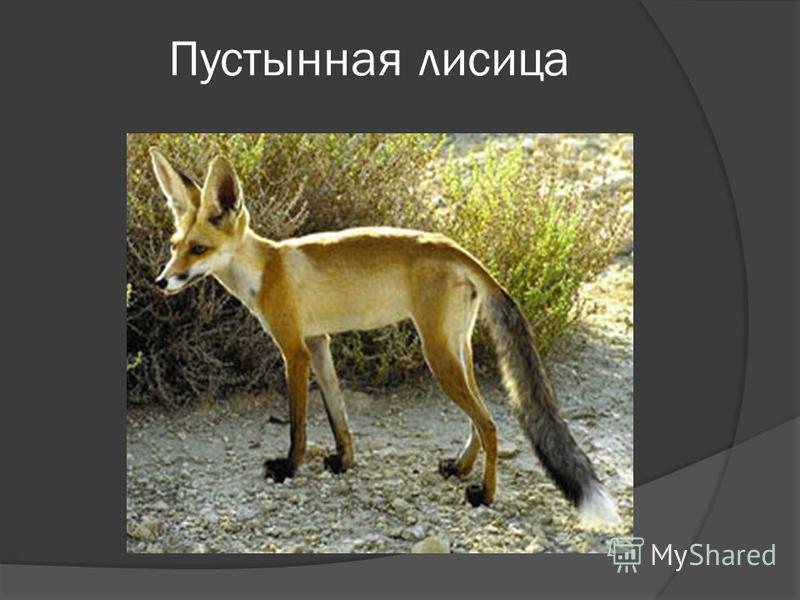 Пустынная лисица