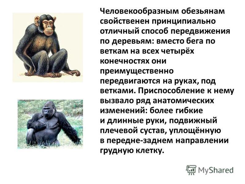Человекообразным обезьянам свойственен принципиально отличный способ передвижения по деревьям: вместо бега по веткам на всех четырёх конечностях они преимущественно передвигаются на руках, под ветками. Приспособление к нему вызвало ряд анатомических