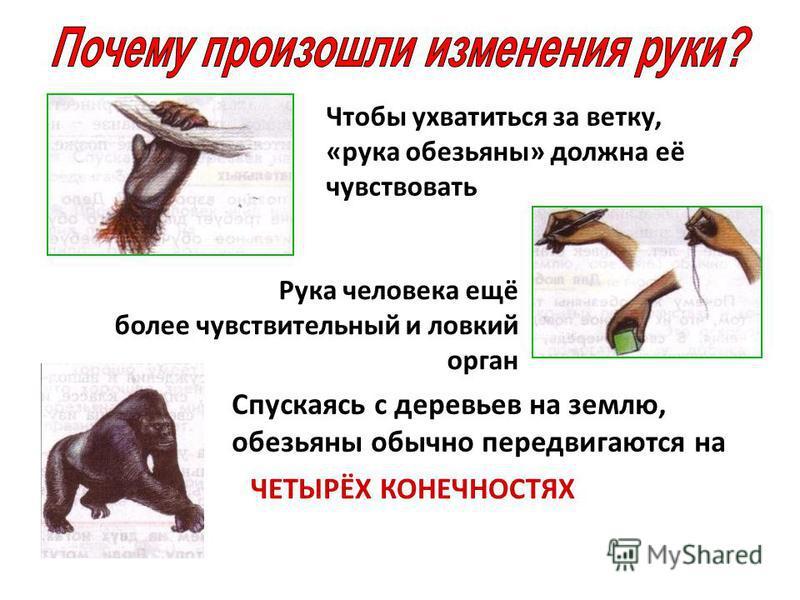 Чтобы ухватиться за ветку, «рука обезьяны» должна её чувствовать Рука человека ещё более чувствительный и ловкий орган Спускаясь с деревьев на землю, обезьяны обычно передвигаются на ЧЕТЫРЁХ КОНЕЧНОСТЯХ
