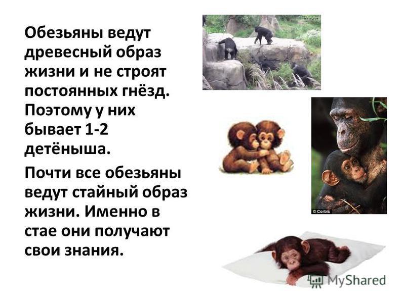 Обезьяны ведут древесный образ жизни и не строят постоянных гнёзд. Поэтому у них бывает 1-2 детёныша. Почти все обезьяны ведут стайный образ жизни. Именно в стае они получают свои знания.