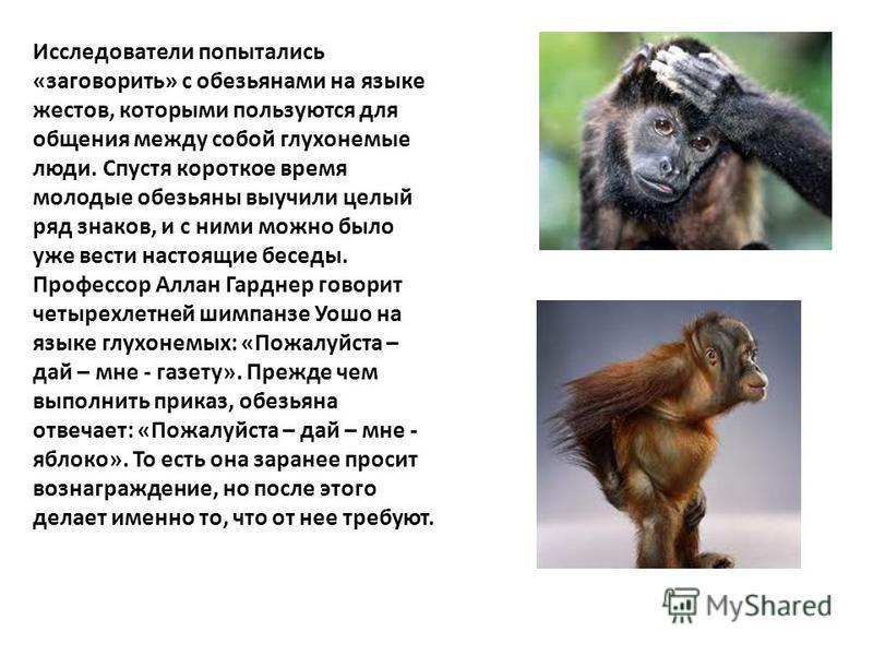 Исследователи попытались «заговорить» с обезьянами на языке жестов, которыми пользуются для общения между собой глухонемые люди. Спустя короткое время молодые обезьяны выучили целый ряд знаков, и с ними можно было уже вести настоящие беседы. Профессо