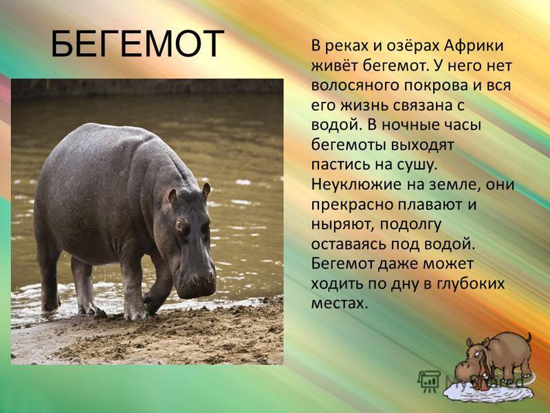 СЛОН Самое большое животное Африки. У слона огромные уши и длинные клыки – бивни. Но главное – хобот. Он для слона важнее, чем рука для человека. Хоботом он дышит, им же рвёт и кладёт в рот траву и листья - любимую свою пищу. Несмотря на размеры и не