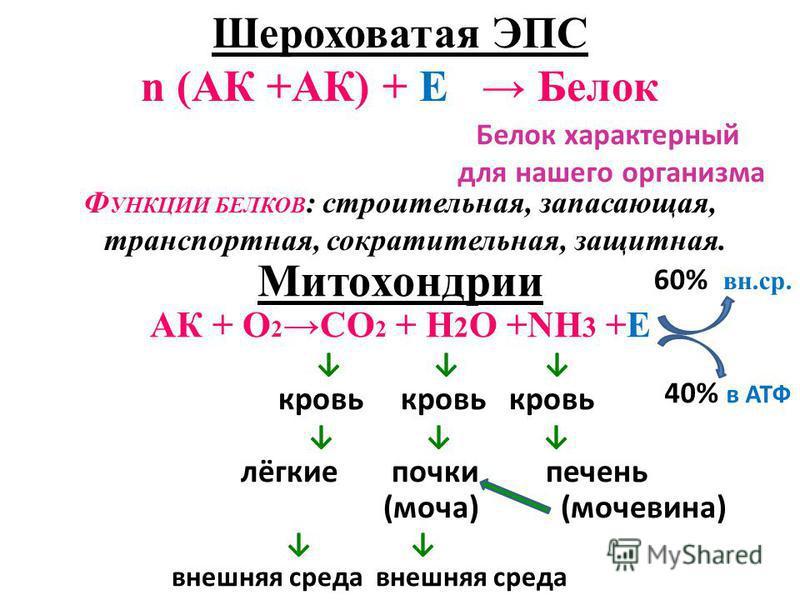 Шероховатая ЭПC n (АК +АК) + Е Белок Ф УНКЦИИ БЕЛКОВ : строительная, запасающая, транспортная, сократительная, защитная. Митохондрии АК + О 2 СО 2 + Н 2 О +NН 3 +Е кровь кровь кровь лёгкие почки печень (моча) (мочевина) внешняя среда внешняя среда 60
