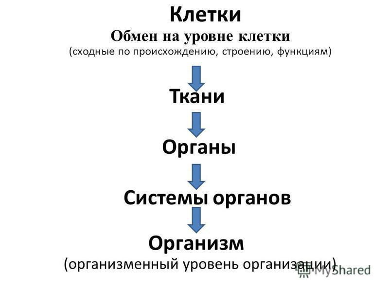 Клетки Обмен на уровне клетки (сходные по происхождению, строению, функциям) Ткани Органы Системы органов Организм (организменный уровень организации)