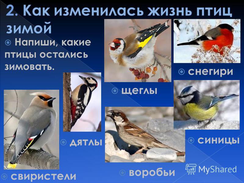 Напиши, какие птицы остались зимовать. воробьи свиристели щеглы синицы дятлы снегири