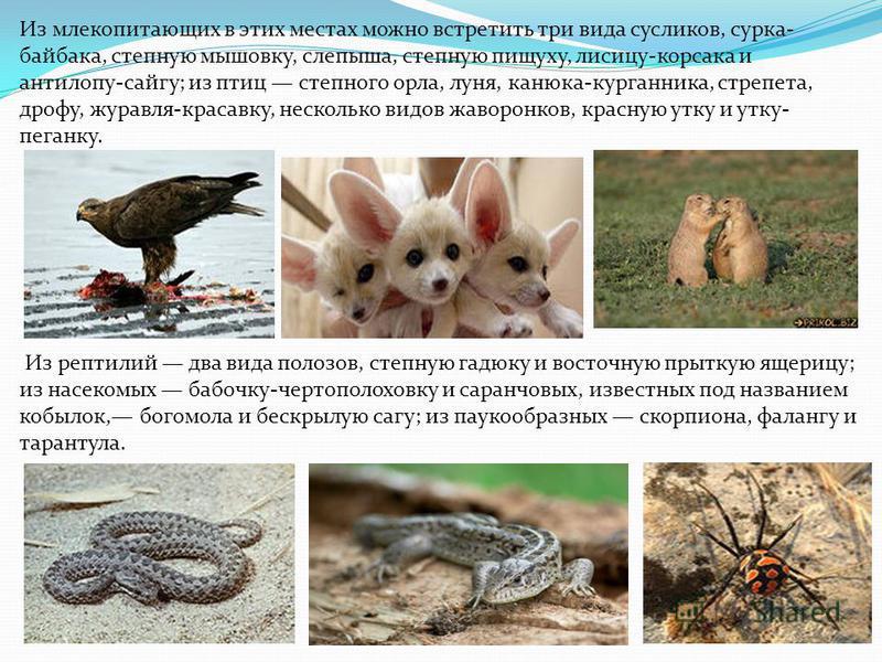 Из млекопитающих в этих местах можно встретить три вида сусликов, сурка- байбака, степную мышовку, слепыша, степную пищуху, лисицу-корсака и антилопу-сайгу; из птиц степного орла, луня, канюка-курганника, стрепета, дрофу, журавля-красавку, несколько