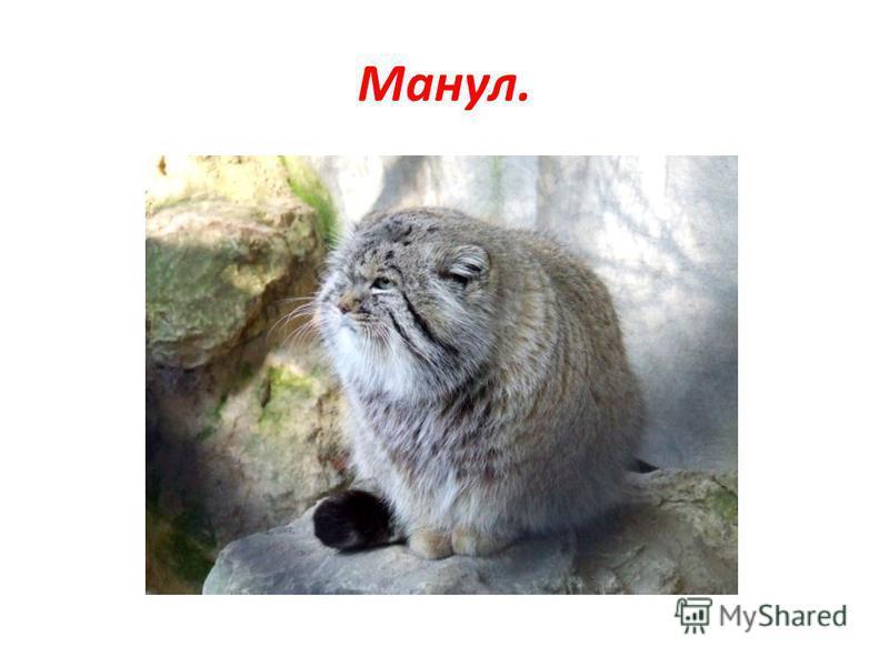Манул.