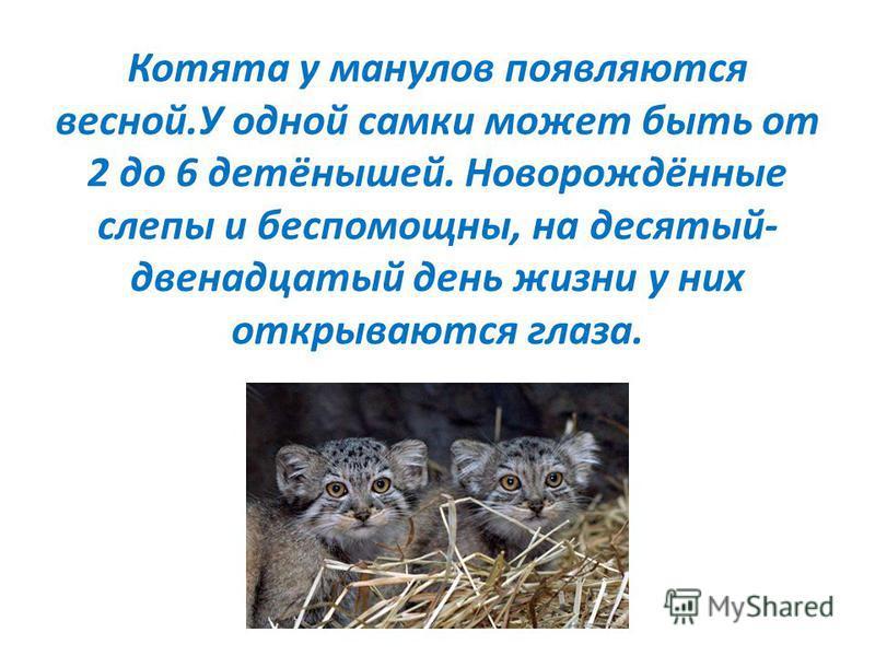 Котята у манулов появляются весной.У одной самки может быть от 2 до 6 детёнышей. Новорождённые слепы и беспомощны, на десятый- двенадцатый день жизни у них открываются глаза.