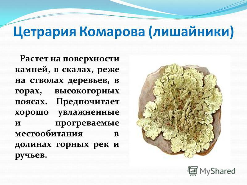 Цетрария Комарова (лишайники) Растет на поверхности камней, в скалах, реже на стволах деревьев, в горах, высокогорных поясах. Предпочитает хорошо увлажненные и прогреваемые местообитания в долинах горных рек и ручьев.