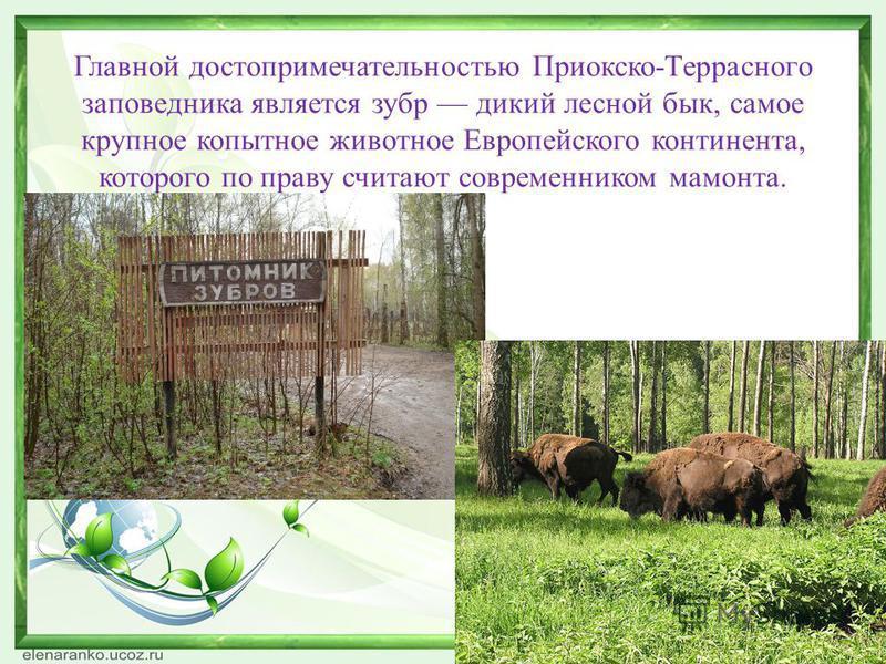 Главной достопримечательностью Приокско-Террасного заповедника является зубр дикий лесной бык, самое крупное копытное животное Европейского континента, которого по праву считают современником мамонта.