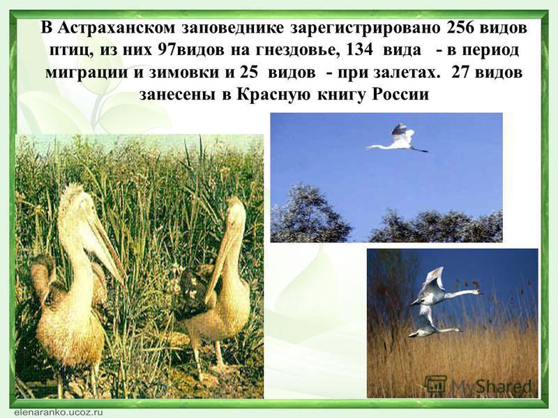 В Астраханском заповеднике зарегистрировано 256 видов птиц, из них 97 видов на гнездовье, 134 вида - в период миграции и зимовки и 25 видов - при залетах. 27 видов занесены в Красную книгу России