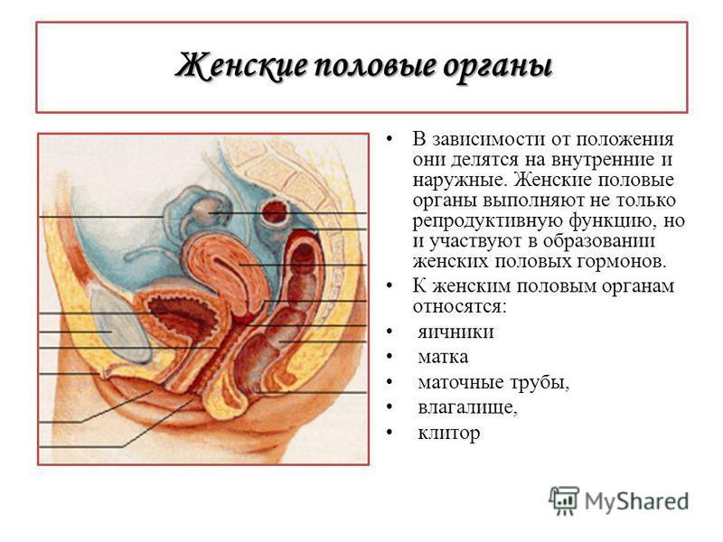 Внешнее строение женских интимных органов схема