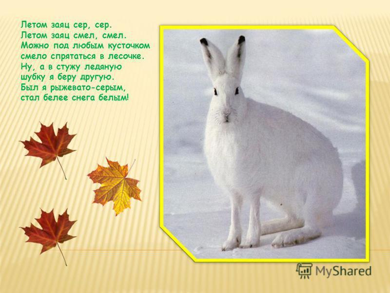 Летом заяц сер, сер. Летом заяц смел, смел. Можно под любым кусточком смело спрятаться в лесочке. Ну, а в стужу ледяную шубку я беру другую. Был я рыжевато-серым, стал белее снега белым!
