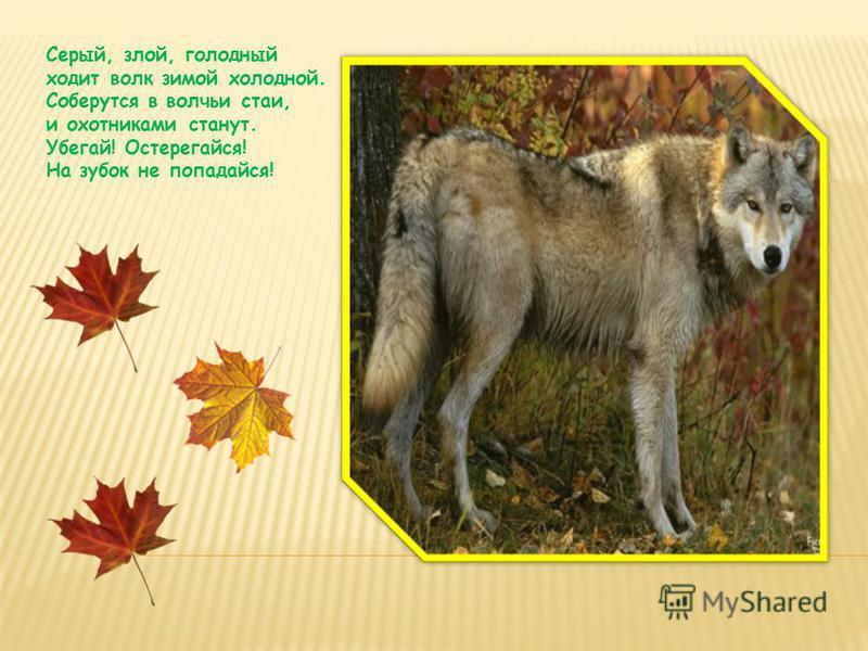 Серый, злой, голодный ходит волк зимой холодной. Соберутся в волчьи стаи, и охотниками станут. Убегай! Остерегайся! На зубок не попадайся!