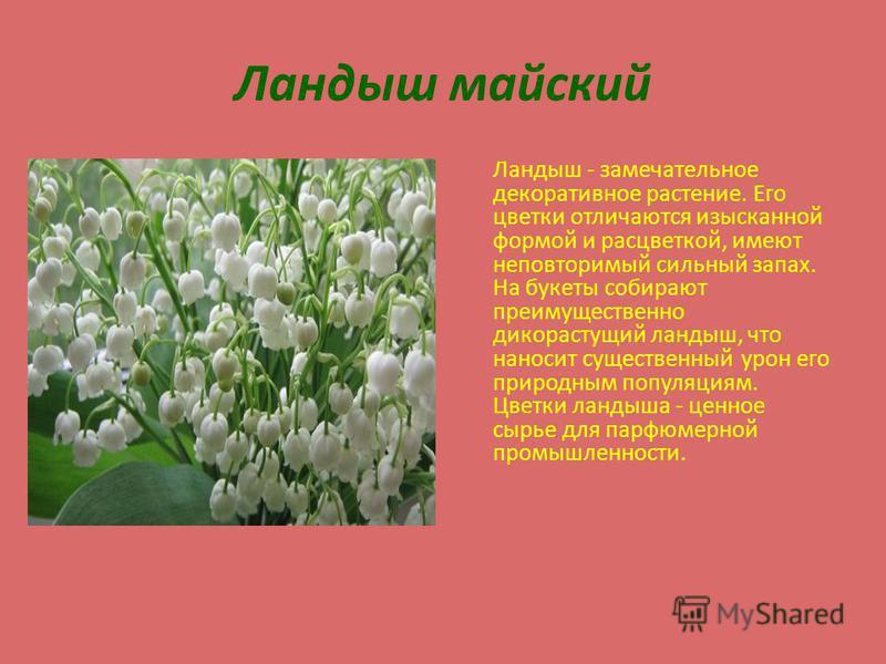 Ландыш майский Ландыш - замечательное декоративное растение. Его цветки отличаются изысканной формой и расцветкой, имеют неповторимый сильный запах. На букеты собирают преимущественно дикорастущий ландыш, что наносит существенный урон его природным п