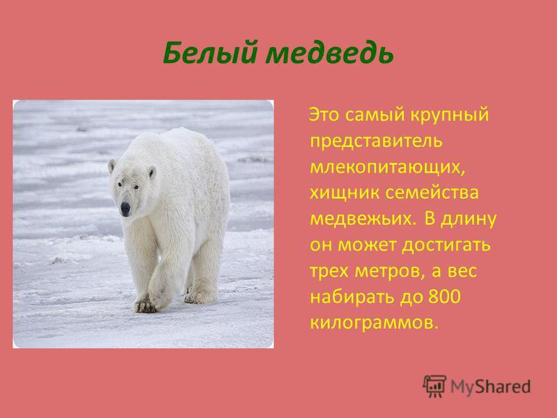Белый медведь Это самый крупный представитель млекопитающих, хищник семейства медвежьих. В длину он может достигать трех метров, а вес набирать до 800 килограммов.