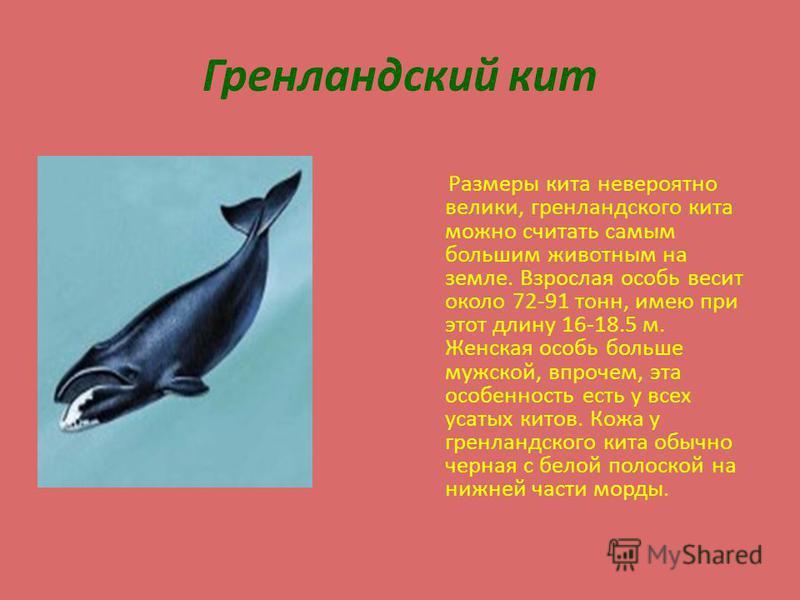 Гренландский кит Размеры кита невероятно велики, гренландского кита можно считать самым большим животным на земле. Взрослая особь весит около 72-91 тонн, имею при этот длину 16-18.5 м. Женская особь больше мужской, впрочем, эта особенность есть у все