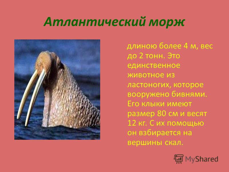 Атлантический морж длиною более 4 м, вес до 2 тонн. Это единственное животное из ластоногих, которое вооружено бивнями. Его клыки имеют размер 80 см и весят 12 кг. С их помощью он взбирается на вершины скал.