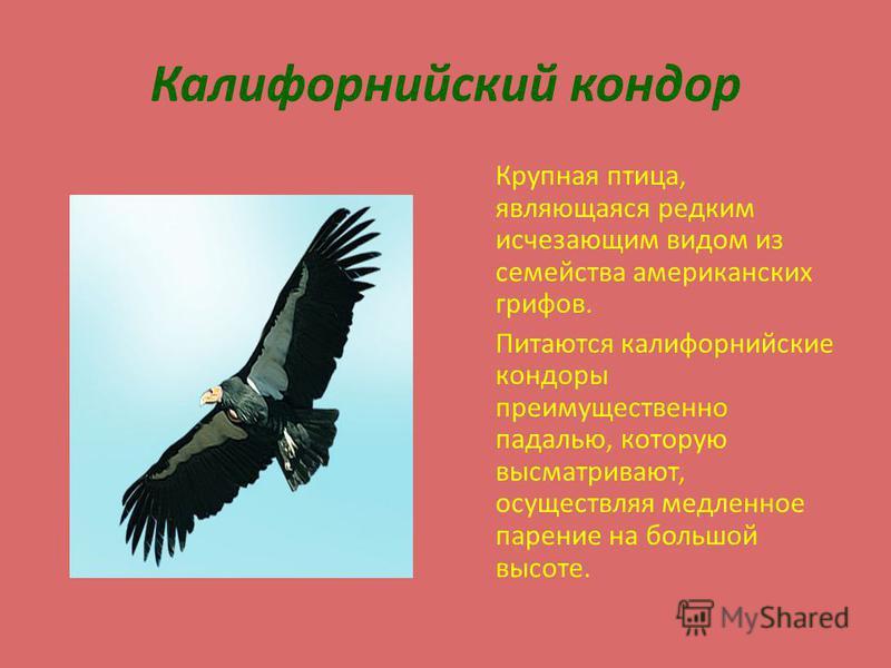 Калифорнийский кондор Крупная птица, являющаяся редким исчезающим видом из семейства американских грифов. Питаются калифорнийские кондоры преимущественно падалью, которую высматривают, осуществляя медленное парение на большой высоте.
