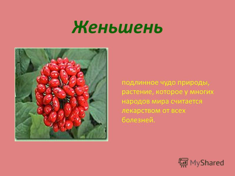 Женьшень подлинное чудо природы, растение, которое у многих народов мира считается лекарством от всех болезней.