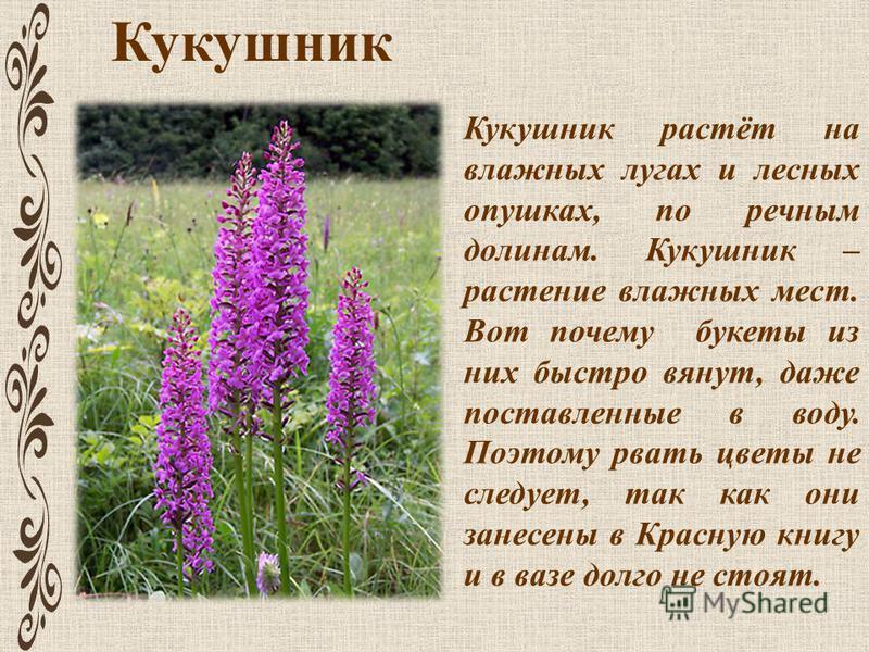 Кукушник Кукушник растёт на влажных лугах и лесных опушках, по речным долинам. Кукушник – растение влажных мест. Вот почему букеты из них быстро вянут, даже поставленные в воду. Поэтому рвать цветы не следует, так как они занесены в Красную книгу и в