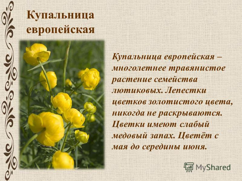 Купальница европейская Купальница европейская – многолетнее травянистое растение семейства лютиковых. Лепестки цветков золотистого цвета, никогда не раскрываются. Цветки имеют слабый медовый запах. Цветёт с мая до середины июня.
