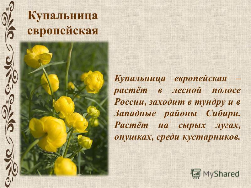 Купальница европейская Купальница европейская – растёт в лесной полосе России, заходит в тундру и в Западные районы Сибири. Растёт на сырых лугах, опушках, среди кустарников.