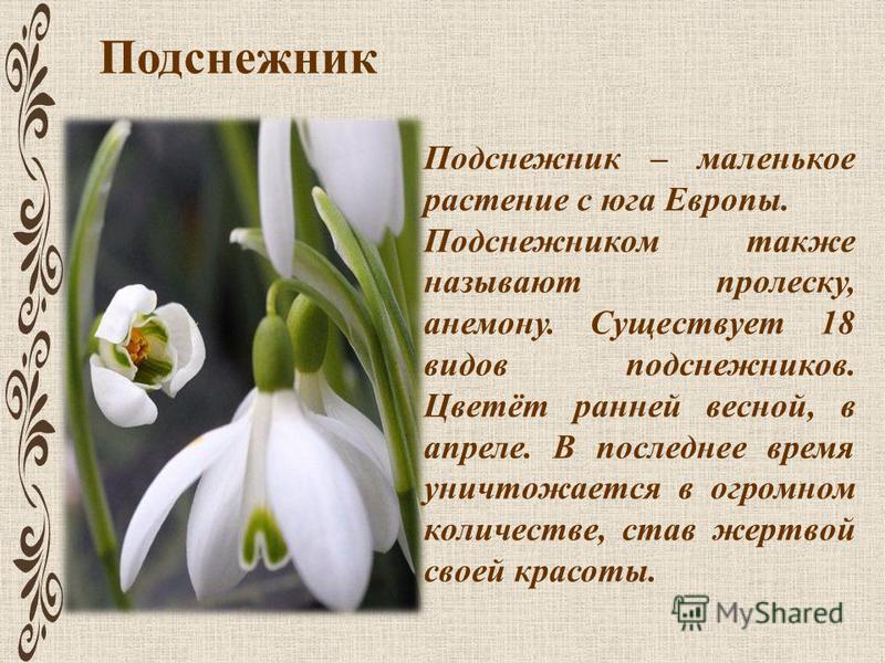 Подснежник Подснежник – маленькое растение с юга Европы. Подснежником также называют пролеску, анемону. Существует 18 видов подснежников. Цветёт ранней весной, в апреле. В последнее время уничтожается в огромном количестве, став жертвой своей красоты