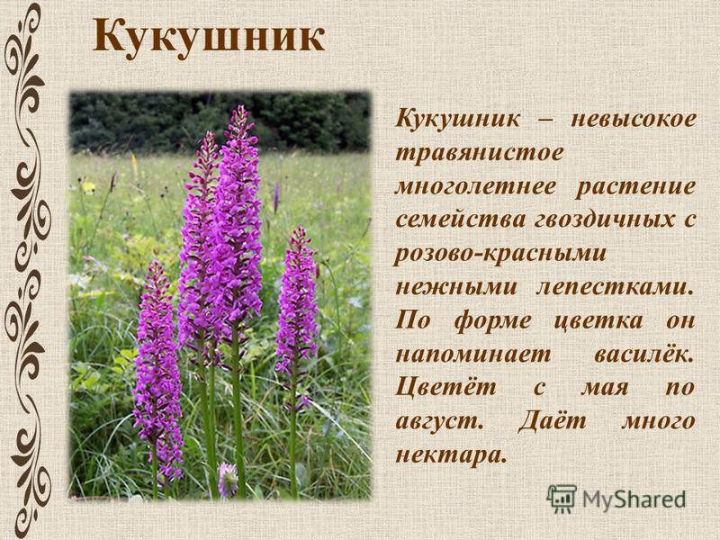 Кукушник Кукушник – невысокое травянистое многолетнее растение семейства гвоздичных с розово-красными нежными лепестками. По форме цветка он напоминает василёк. Цветёт с мая по август. Даёт много нектара.