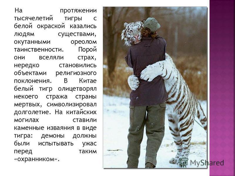 На протяжении тысячелетий тигры с белой окраской казались людям существами, окутанными ореолом таинственности. Порой они вселяли страх, нередко становились объектами религиозного поклонения. В Китае белый тигр олицетворял некоего стража страны мертвы