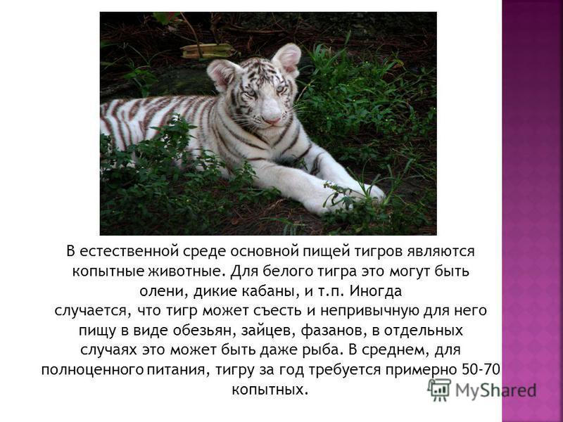В естественной среде основной пищей тигров являются копытные животные. Для белого тигра это могут быть олени, дикие кабаны, и т.п. Иногда случается, что тигр может съесть и непривычную для него пищу в виде обезьян, зайцев, фазанов, в отдельных случая