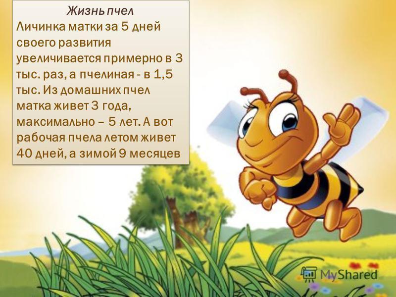 Жизнь пчел Личинка матки за 5 дней своего развития увеличивается примерно в 3 тыс. раз, а пчелиная - в 1,5 тыс. Из домашних пчел матка живет 3 года, максимально – 5 лет. А вот рабочая пчела летом живет 40 дней, а зимой 9 месяцев Жизнь пчел Личинка ма