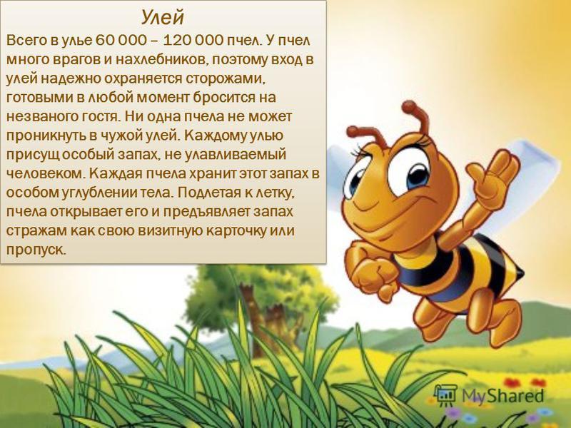 Улей Всего в улье 60 000 – 120 000 пчел. У пчел много врагов и нахлебников, поэтому вход в улей надежно охраняется сторожами, готовыми в любой момент бросится на незваного гостя. Ни одна пчела не может проникнуть в чужой улей. Каждому улью присущ осо