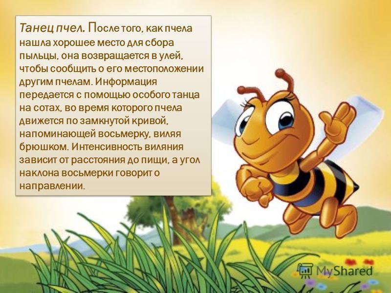 Танец пчел. П осле того, как пчела нашла хорошее место для сбора пыльцы, она возвращается в улей, чтобы сообщить о его местоположении другим пчелам. Информация передается с помощью особого танца на сотах, во время которого пчела движется по замкнутой