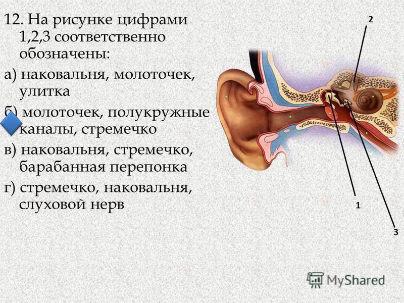 12. На рисунке цифрами 1,2,3 соответственно обозначены: а) наковальня, молоточек, улитка б) молоточек, полукружные каналы, стремечко в) наковальня, стремечко, барабанная перепонка г) стремечко, наковальня, слуховой нерв 3 1 2