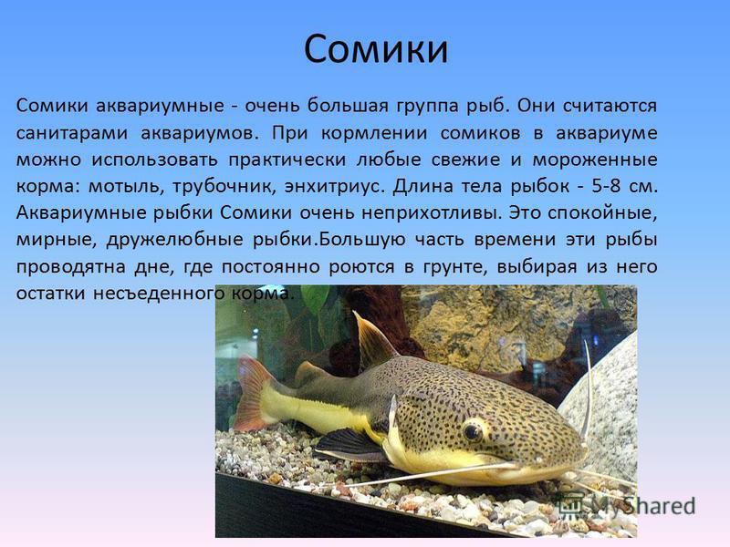 Сомики аквариумные - очень большая группа рыб. Они считаются санитарами аквариумов. При кормлении сомиков в аквариуме можно использовать практически любые свежие и мороженные корма: мотыль, трубочник, энхитриус. Длина тела рыбок - 5-8 см. Аквариумные