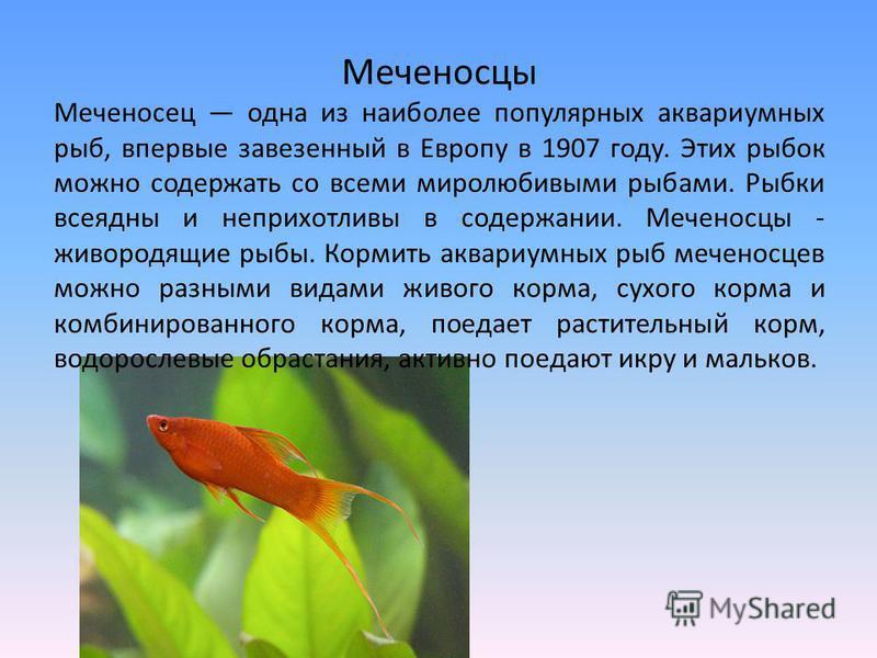 Меченосцы Меченосец одна из наиболее популярных аквариумных рыб, впервые завезенный в Европу в 1907 году. Этих рыбок можно содержать со всеми миролюбивыми рыбами. Рыбки всеядны и неприхотливы в содержании. Меченосцы - живородящие рыбы. Кормить аквари