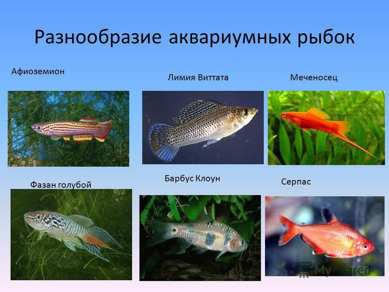 Разнообразие аквариумных рыбок Афиоземион Барбус Клоун Фазан голубой Лимия Виттата Меченосец Серпас