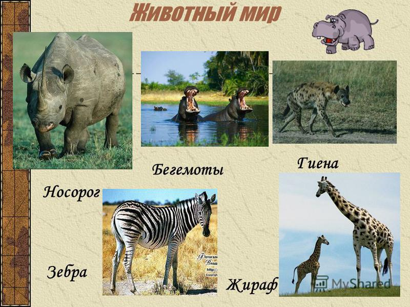 Животный мир Носорог Зебра Жираф Бегемоты Гиена