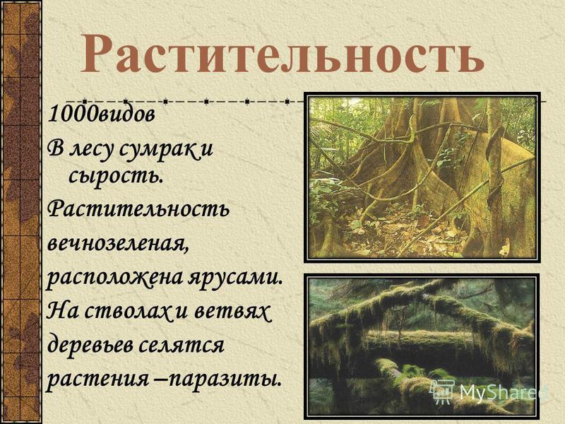 Растительность 1000 видов В лесу сумрак и сырость. Растительность вечнозеленая, расположена ярусами. На стволах и ветвях деревьев селятся растения –паразиты.