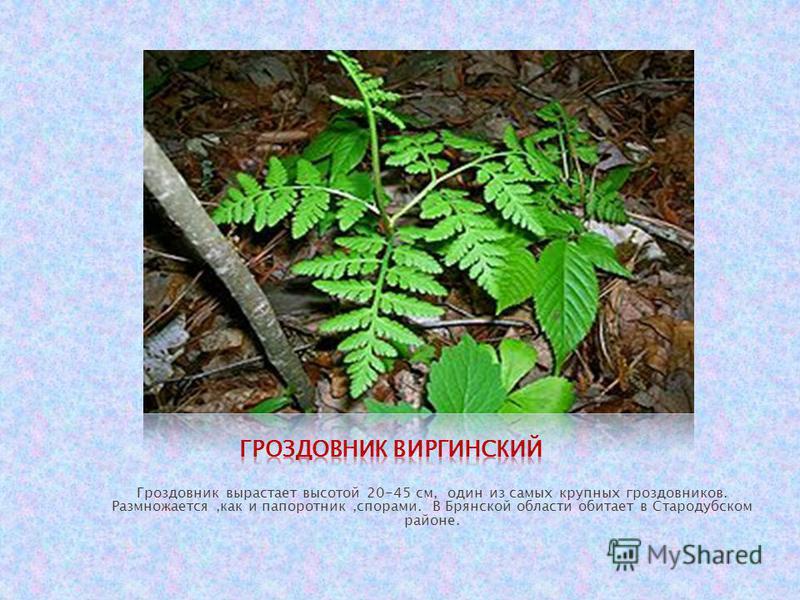 Гроздовник вырастает высотой 20-45 см, один из самых крупных гроздовников. Размножается,как и папоротник,спорами. В Брянской области обитает в Стародубском районе.