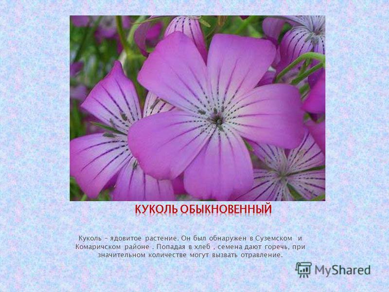 Куколь – ядовитое растение. Он был обнаружен в Суземском и Комаричском районе. Попадая в хлеб, семена дают горечь, при значительном количестве могут вызвать отравление.