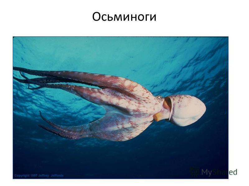 Осьминоги