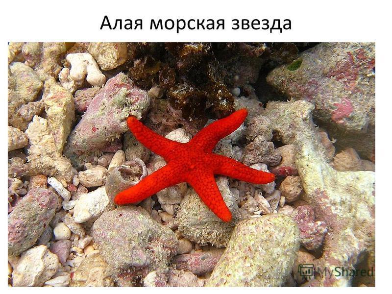 Алая морская звезда