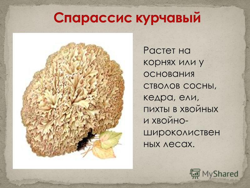 Растет на корнях или у основания стволов сосны, кедра, ели, пихты в хвойных и хвойно- широколиственных лесах.