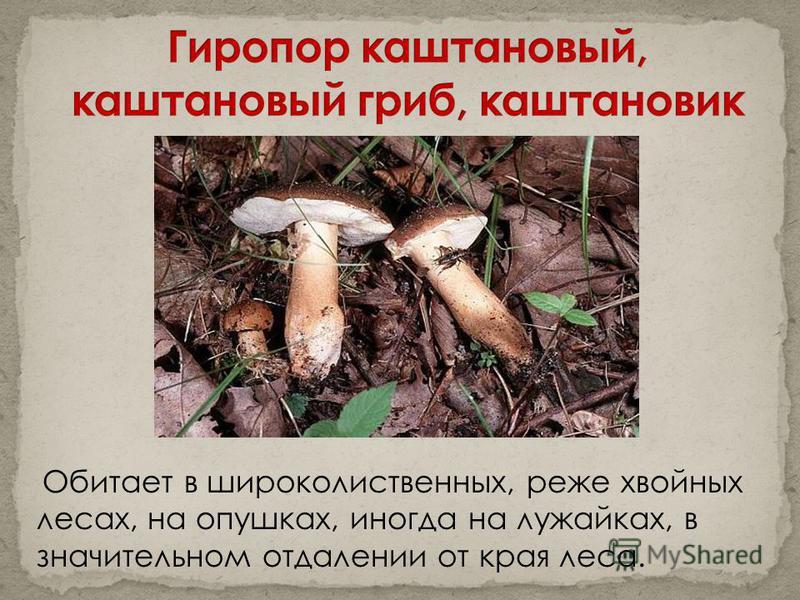 Обитает в широколиственных, реже хвойных лесах, на опушках, иногда на лужайках, в значительном отдалении от края леса.