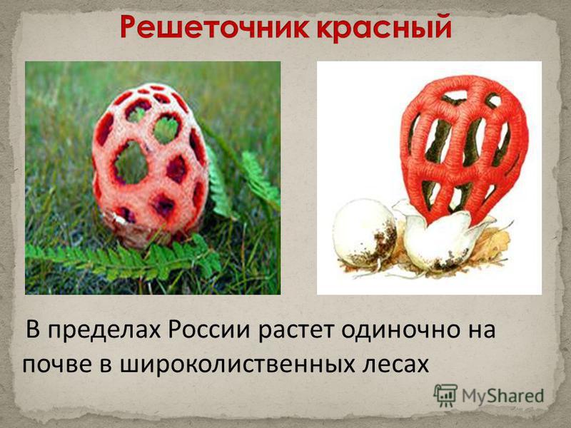 В пределах России растет одиночно на почве в широколиственных лесах