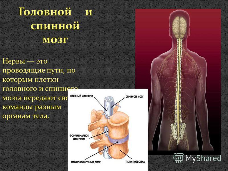 Нервы это проводящие пути, по которым клетки головного и спинного мозга передают свои команды разным органам тела.